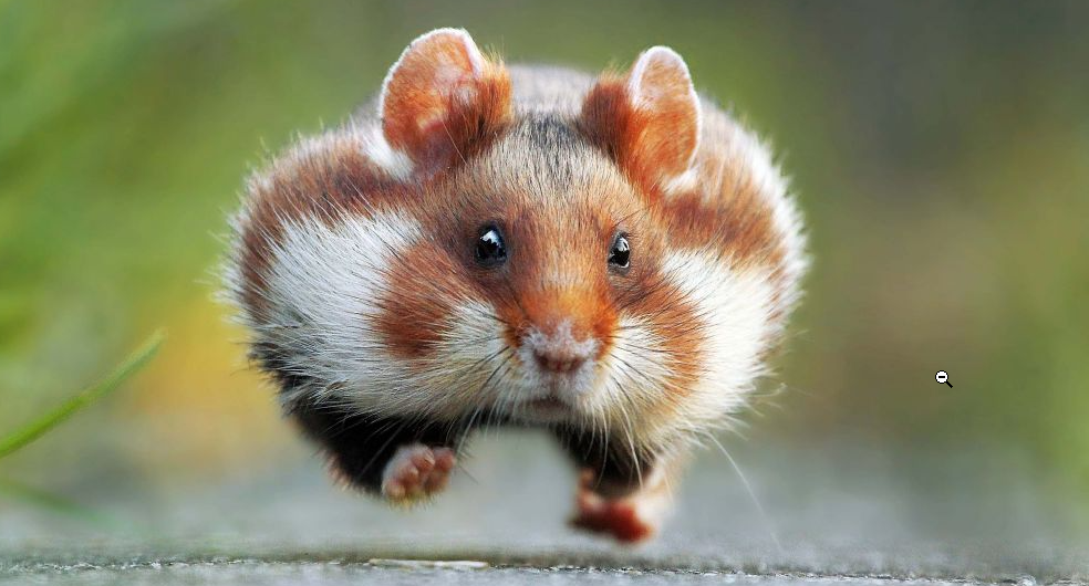 hamster lifespan and how to  get him live longer