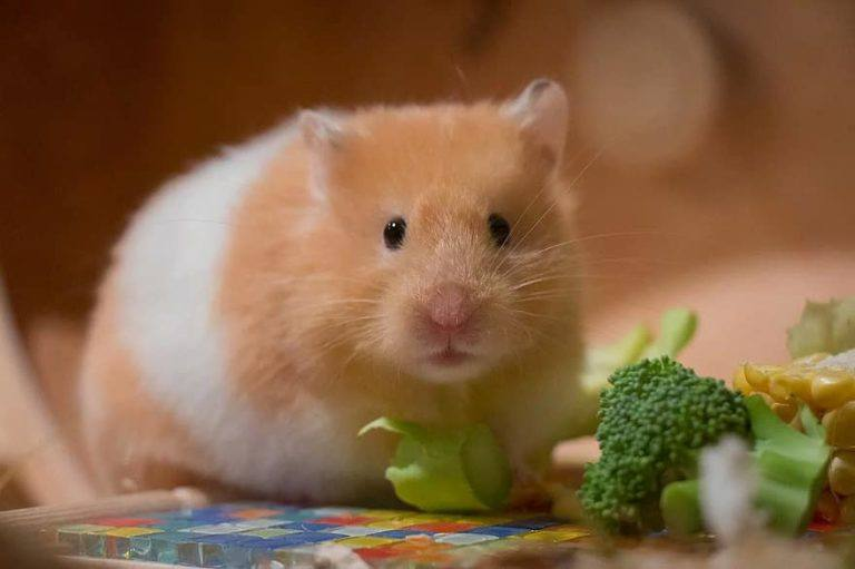 what vitamins are essential for hamsters
