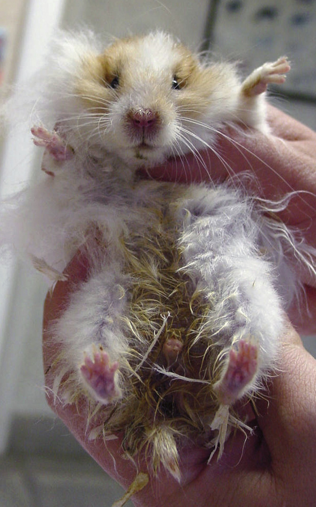 hamster illnesses and sickness signs and how to prevent and treat him