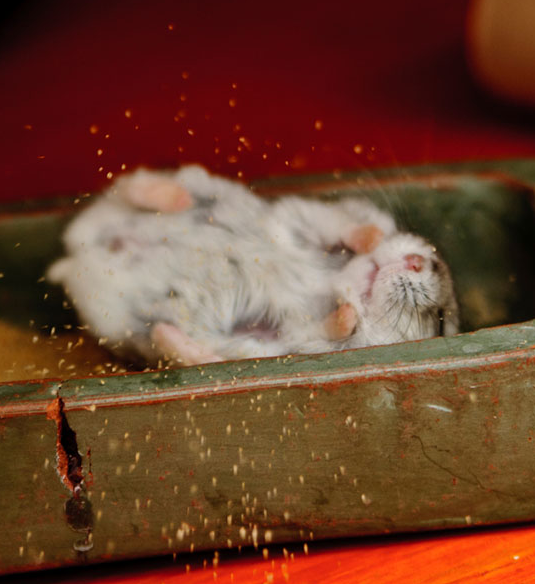 why do hamsters need sandbaths and how to help the if necessary