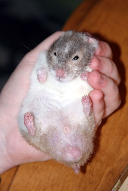 what do old hamsters need ?