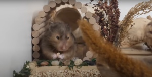 What Enrichment Do Hamsters Need?