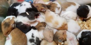 Why Do Some Hamsters Eat Their Babies ?