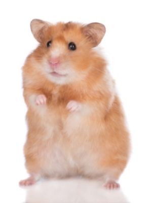 hamsters on famillypet blog
