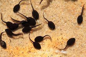 freshwater Tadpoles to feed