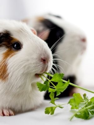 guinea pigs on Famillypet blog