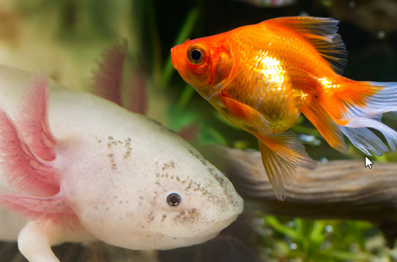 can goldfish live with axolotls ?