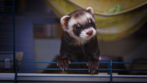 are ferrets quiet pets or noisy pets ?