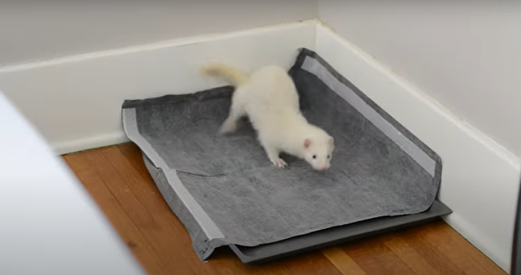 the best method to potty training a ferret