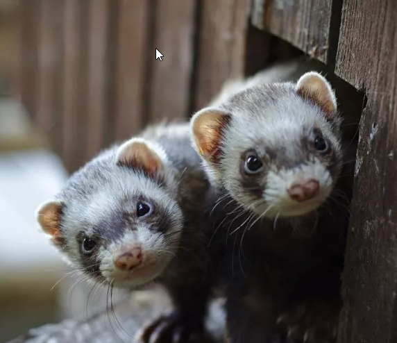 how long do ferrets live for in captivity and in the wild
