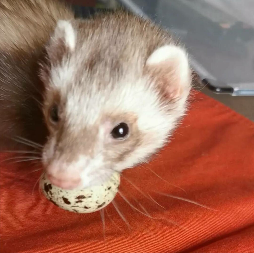 Eggs are a really good and healthy ferret treat