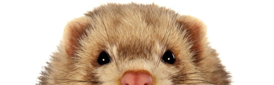are ferrets good pets for my family and my kids ?
