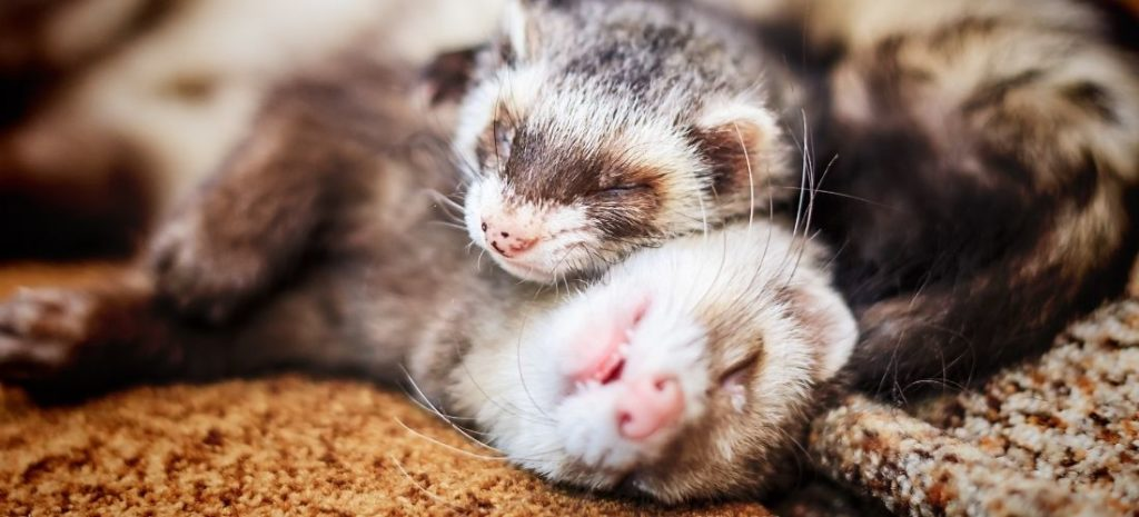ferret breeds types patterns and colors