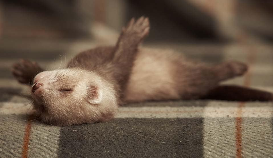 ferret sleeping , all you need to know