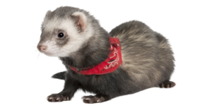are ferrets good pets ?